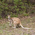 Wallaby at Katherine Gorge, Australia by Pauline Tims