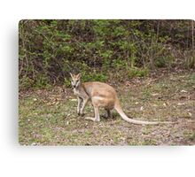 Wallaby at Katherine Gorge, Australia Canvas Print