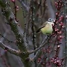 Yellow-rumped Thornbill by Natalie Ord
