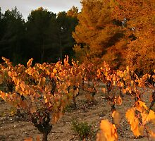 Auumn colours Minervois Vineyard France by Paul Pasco