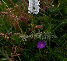 Irish White Orchid, Inishmore by George Row