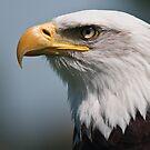 Bald eagle by Novi