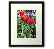 Red and purple tulips Framed Print