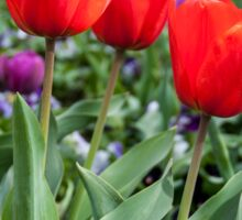 Red and purple tulips Sticker
