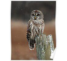 Barred Owl  2 - Ontario Canada Poster
