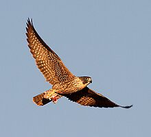 111210 Peregrine Falcon by Marvin Collins