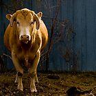 Oddbull by Christina Apelseth