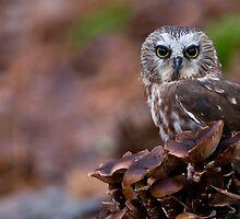 Saw-whet Owl - Ontario, Canada by Raymond J Barlow