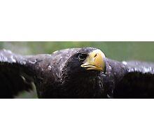 Wind beneath my wings - stella sea eagle Photographic Print