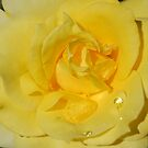 Rose With Pearls by Rozalia Toth