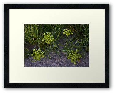 Rock Samphire, Inishmore, Aran Islands by George Row