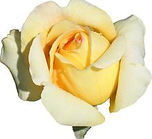 Yellow Rose by STHogan