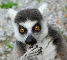 Lemur Snacktime Thoughts by Margaret Saheed