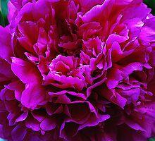 Pink  Peony by Mattie Bryant