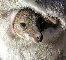 Joey In Pouch - Red-necked Wallaby Photographic Print