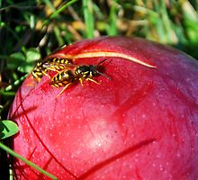 Yellow Jackets on an Apple by Jenny Webber