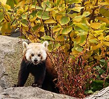 Red Panda by Ann  Van Breemen