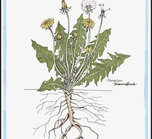 Taraxacum officinale by Kat Anderson