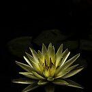 Lily by Kim Roper