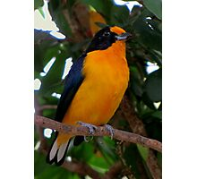 Violaceous Euphonia (Male) True Finch Family Photographic Print