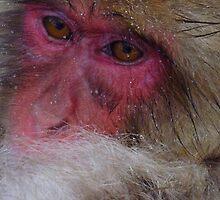 Snow monkey, Jigokudani by Glen O'Malley