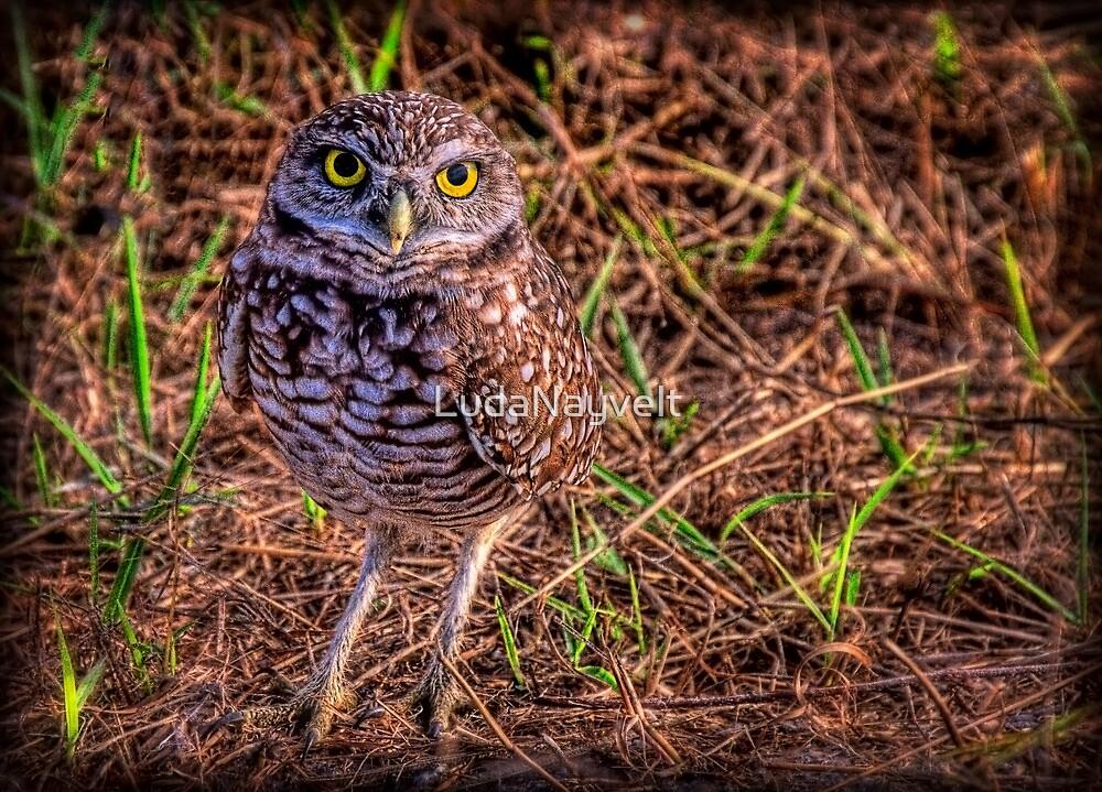 The Burrowing Owl - little fellow by LudaNayvelt
