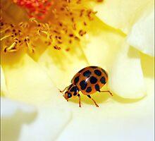 Little Lady ..on a rose by jodik75