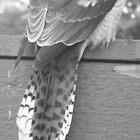 Kookaburra's Tail by GemmaWiseman