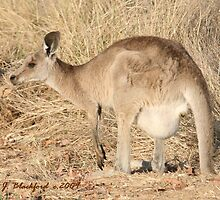 Kangaroo with Joey in Her Pouch by aussiebushstick