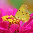 Sherbet Colors Yellow Butterfly by Janice McCafferty