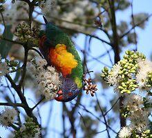 Rainbow Lorikeet Feeding by aussiebushstick