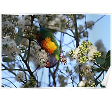 Rainbow Lorikeet Feeding Poster