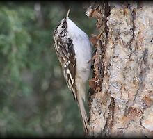 Brown Creeper by Dennis Cheeseman
