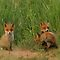 Young red fox puppies by Remo Savisaar