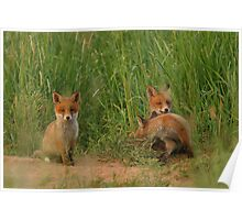 Young red fox puppies Poster