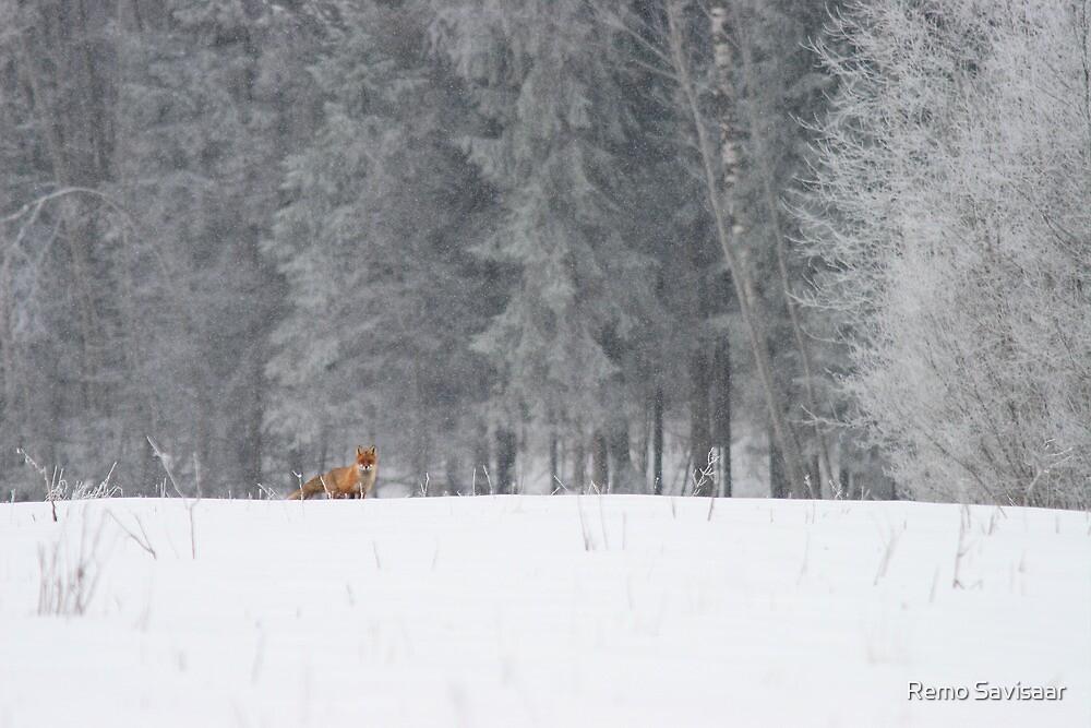 Red fox in snowfall by Remo Savisaar
