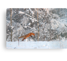 Red fox is hunting voles! Canvas Print