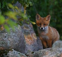 Red fox kit by Remo Savisaar