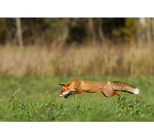 Concentration - Red fox is hunting voles! Photographic Print