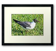 Laughing gull on grass Framed Print