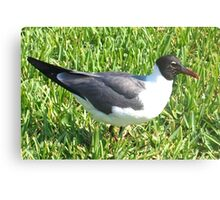 Laughing gull on grass Canvas Print