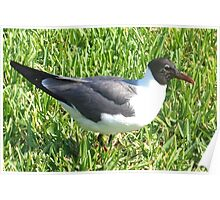 Laughing gull on grass Poster