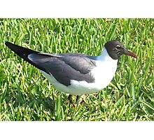 Laughing gull on grass Photographic Print