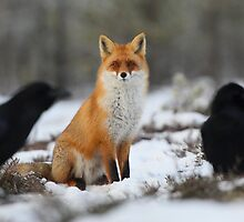 Red fox and his piercing look by Remo Savisaar
