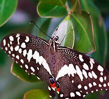 Citrus Swallowtail by Ann  Palframan