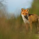 Portrait of Red Fox by Remo Savisaar