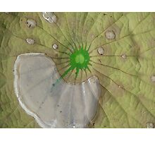 Lily pad of water Photographic Print