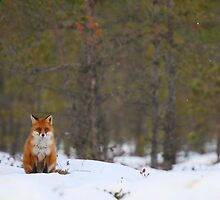 Red fox resting in bog forest by Remo Savisaar