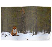 Red fox resting in bog forest Poster