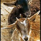 Goats in the barnyard by Tracy Riddell